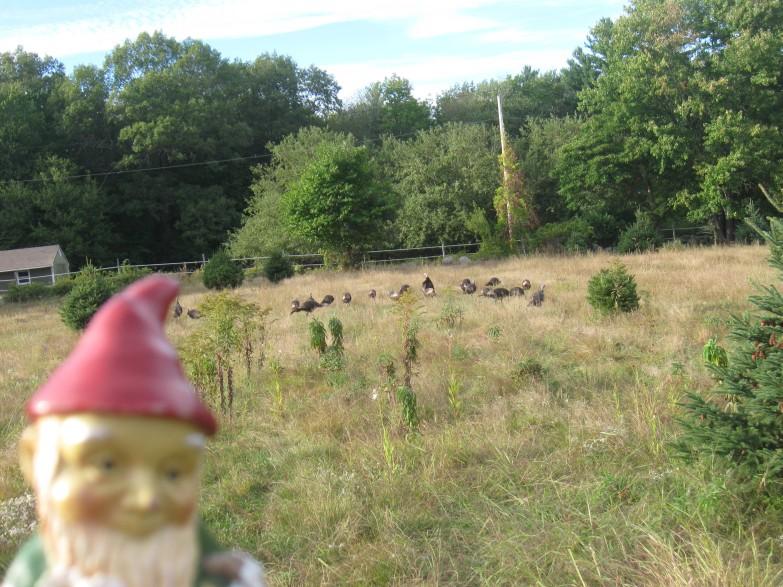 a-gnome-and-turkeys