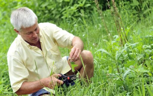 Brett harvesting wild lettuce