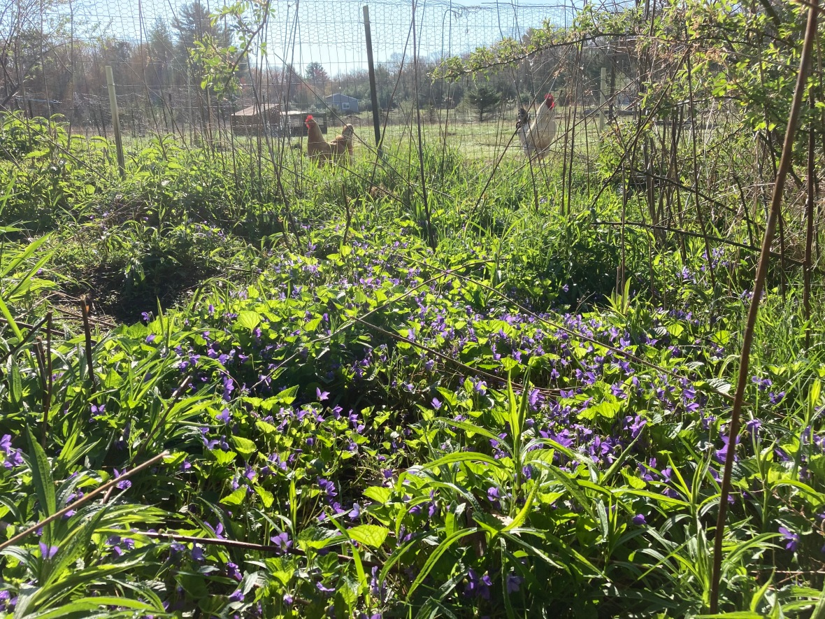 violets in the sun